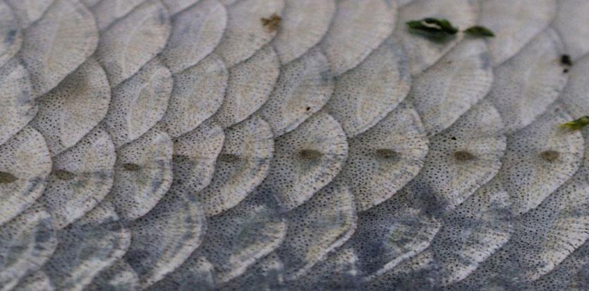 مخلفات السمك-مولدات نانوية للطاقة