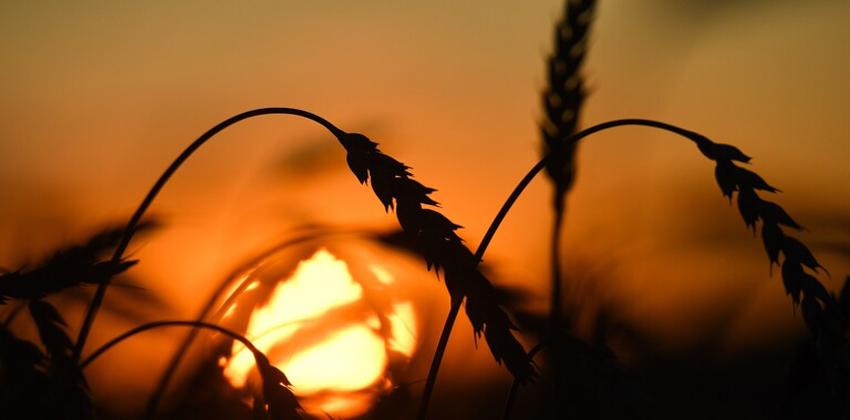 محصول الحبوب الروسي